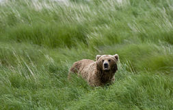 Lone Brown Bear standing in the grass Royalty Free Stock Photo