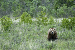 Lone Brown Bear standing in the grass Stock Photos