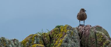 Lone brown sea bird stands on a rocks covered in colourful lichen. Photographed on the North Coast 500 driving route in Scotland. Panorama of lone brown sea bird stock photo