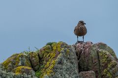 Lone brown sea bird stands on a rocks covered in colourful lichen. Photographed on the North Coast 500 driving route in Scotland. Panorama of lone brown sea bird royalty free stock photography