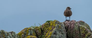Lone brown sea bird stands on a rocks covered in colourful lichen. Photographed on the North Coast 500 driving route in Scotland. Panorama of lone brown sea bird stock photos