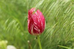 Bud of a Tulip among selnau grass. A lone Bud of a Tulip on a background of pale-green grass stock photos