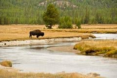 Lone Buffalo Stock Photo