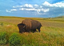 Lone Buffalo Royalty Free Stock Image