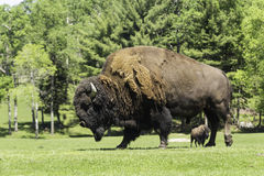 A lone buffalo grazes in a field Royalty Free Stock Photo