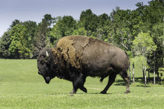 A lone buffalo grazes in a field Royalty Free Stock Photos