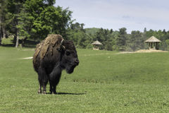 A lone buffalo grazes in a field royalty free stock images