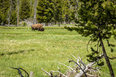 Lone Buffalo Grazing in the Meadow Stock Photography
