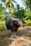 Lone Buffalo Stock Image