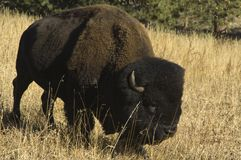 Lone buffalo in tall grass. Grazibg bison in the foothills of Colorado Stock Image