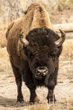 Lone Bull Bison Royalty Free Stock Images