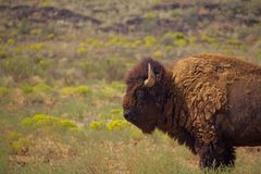 Lone Bull Bison Stands in Grass royalty free stock photo