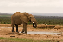 Lone bull elephant drinking at a water hole Royalty Free Stock Photography
