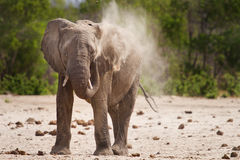 A lone Bull Elephant having a dust bath in South Luangwa Nationa; Park Stock Photos