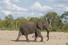 A lone Bull Elephant walking across the dry plains in Hwange National Park Stock Photography