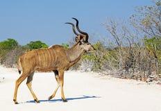 A lone bull kudu walking across a white dusty road Stock Photo
