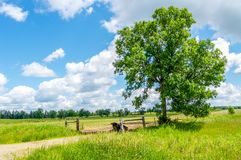 A Lone Bull Sits in the Shade of a Tree stock photos