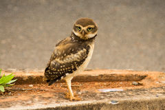 Lone Burrowing Owl. Lone Baby Brazilian Burrowing Owl Royalty Free Stock Image
