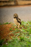 Lone Burrowing Owls. Lone Baby Brazilian Burrowing Owl Stock Images