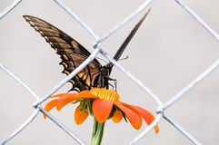 A lone butterfly trapped behind a fence stock images
