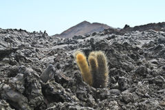 Lone cactus on a lava field Stock Images