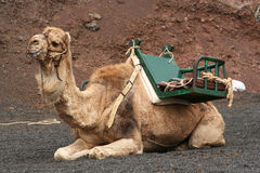 Lone Camel Royalty Free Stock Image