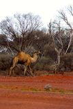 Lone Camel in the Australian desert Royalty Free Stock Photos