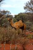 Lone Camel in the Australian desert Royalty Free Stock Images