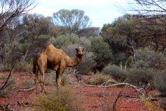 Lone Camel in the Australian desert Stock Photos
