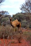 Lone Camel in the Australian desert Stock Photo