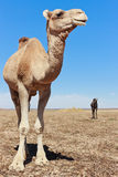Lone Camel in the Desert with blue sky. Camels in the Desert with blue sky Royalty Free Stock Image