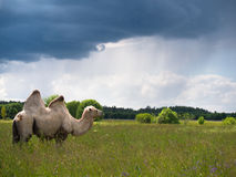 Lone camel standing in a field and eating grass on a background of forest and sky Royalty Free Stock Photos