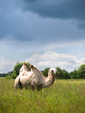 Lone camel standing in a field and eating grass on a background of forest and sky Stock Photos