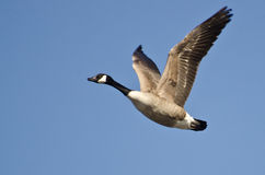 Canada Goose Flying in Blue Sky Stock Images