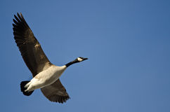 Lone Canada Goose Flying in a Blue Sky Stock Photo