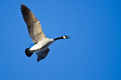 Lone Canada Goose Flying In A Blue Sky Stock Images