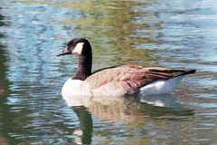 Lone Canada Goose on a pond Royalty Free Stock Photos
