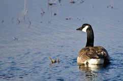Lone Canada Goose on the Water Stock Images