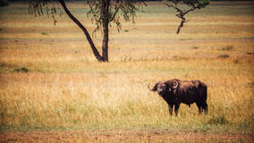 Lone cape buffalo Royalty Free Stock Photo