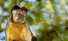 Lone Capuchin Monkey Royalty Free Stock Photography