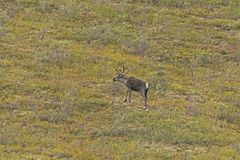 Lone Caribou in the Tundra Stock Image