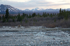 Lone Caribou in the Wilderness Royalty Free Stock Image
