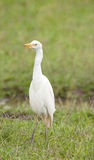 Lone Cattle Egret Stock Images