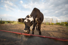 Lone cattle at empty feedbunk Royalty Free Stock Photos
