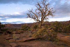 Lone cedar tree in the desert. At Capitol Reef National park Utah royalty free stock photo
