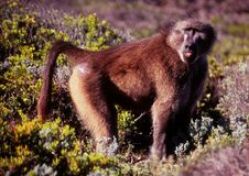 Lone Chamca male Baboon in Cape Point fynbos stock photo