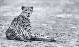 Lone cheetah laying on a road at dusk resting Royalty Free Stock Image