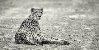 Lone cheetah laying on a road at dusk resting Royalty Free Stock Photo