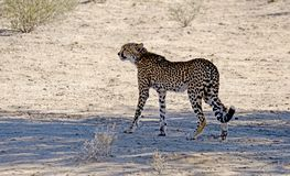 A lone cheetah observing its target prey whilst hunting in a national park in Africa. This cheetah was hunting in the Kgalagadi Transfrontier Park between stock photography