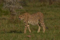 Lone Cheetah on the plains of Africa. Lone Cheetah prowls the plains of Africa Stock Photo
